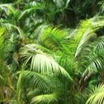 пальмы для Карнаубского воска